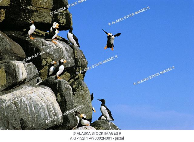 Horned Puffins & Common Murres Bristol Bay SW AK