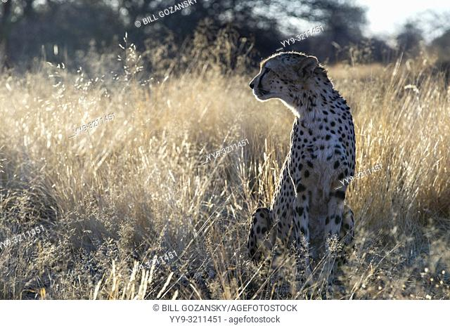 Cheetah (Acinonyx jubatus) [Captive] AfriCat Foundation, Okonjima Nature Reserve, Namibia, Africa
