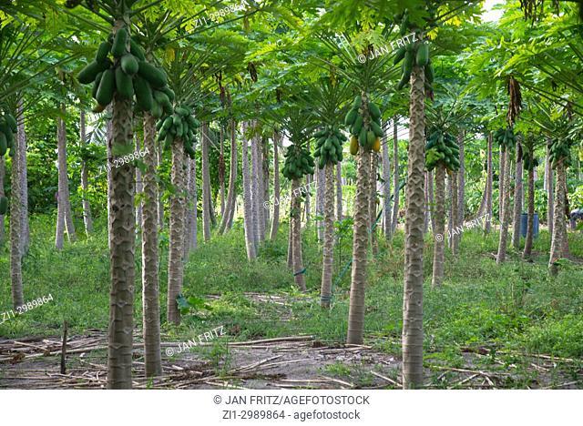garden with papaya trees in Thado, Maldives