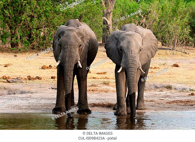 Two elephants (Loxodonta africana) drinking from river, Khwai concession, Okavango delta, Botswana