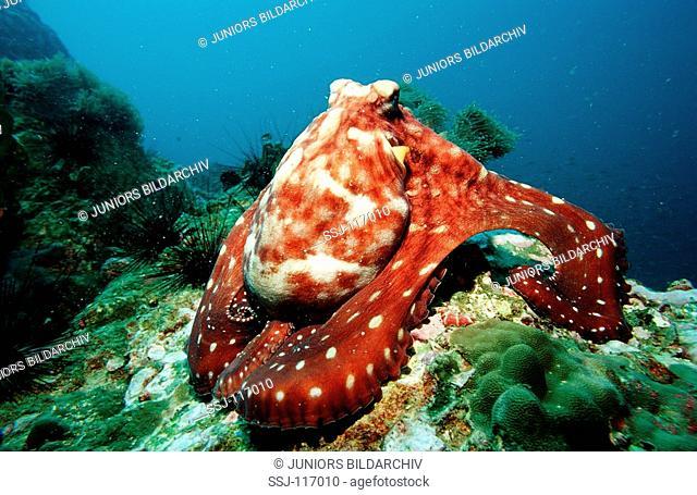 Octopus, Octopus vulgaris