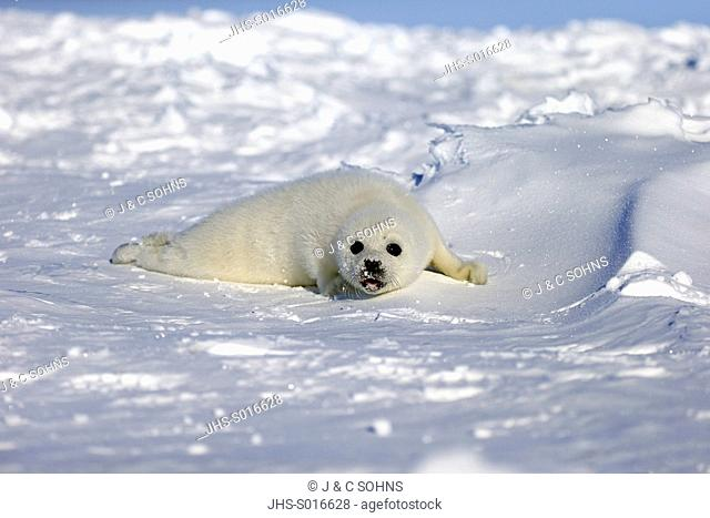 Harp Seal, Saddleback Seal, (Pagophilus groenlandicus), Phoca groenlandica, seal pup on pack ice calling, Magdalen Islands, Gulf of St