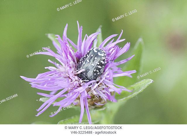 Rose Chafer, Oxythyrea funesta. Large black scarab with distinctive white flecks. Size 8-12mm. Phytophagous. Polyphagous