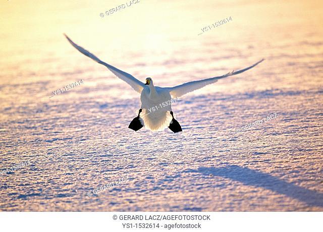 Whooper Swan, cygnus cygnus, Adult in Flight on Frozen Lake, Landing, Hokkaido Island in Japan
