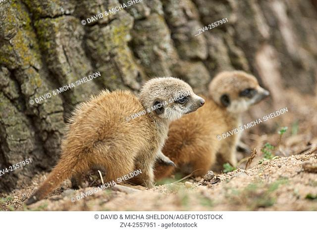 Close-up of two meerkat or suricate (Suricata suricatta) youngster in late summer