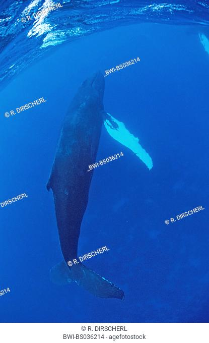 humpback whale (Megaptera novaeangliae), female, side view, Dominican Republic, Caribbean Sea