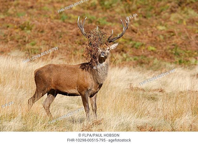 Red Deer Cervus elaphus stag, bracken on antlers after thrashing during rut, Bradgate Park, Leicestershire, England, autumn