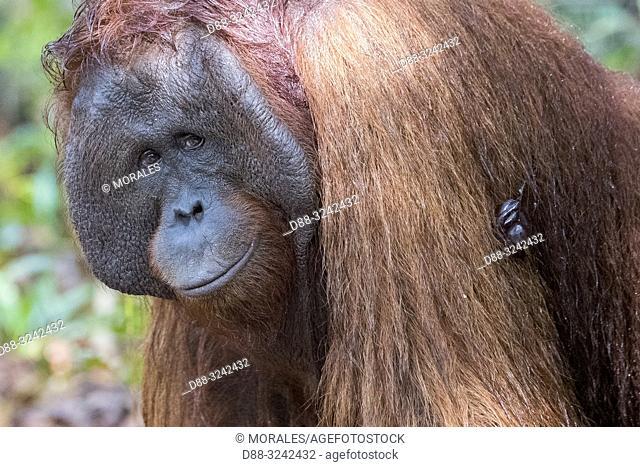 AAsia, Indonesia, Borneo, Tanjung Puting National Park, Bornean orangutan (Pongo pygmaeus pygmaeus), adult male