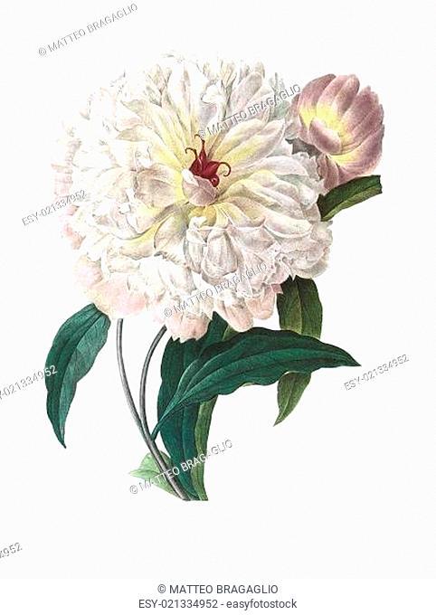 flower antique illustration peonia