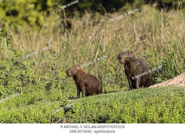 Adult capybaras, Hydrochoerus hydrochaeris, Porto Jofre, Mato Grosso, Pantanal, Brazil