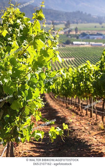 Chile, Casablanca, vineyard detail at Vina Casas del Bosque winery