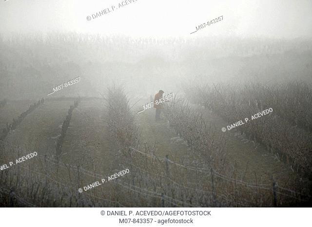 man working at the vineyard, Rioja wine region, Spain