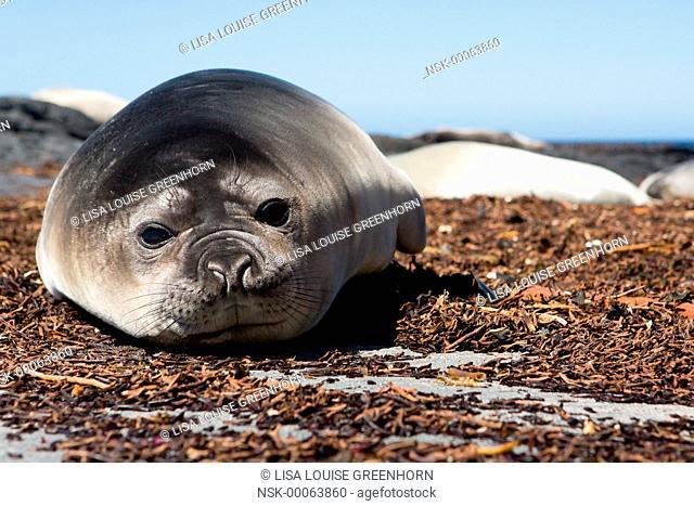 Elephant Seal (Mirounga leonina) young resting on beach, Falkland Island, Sea Lion Island