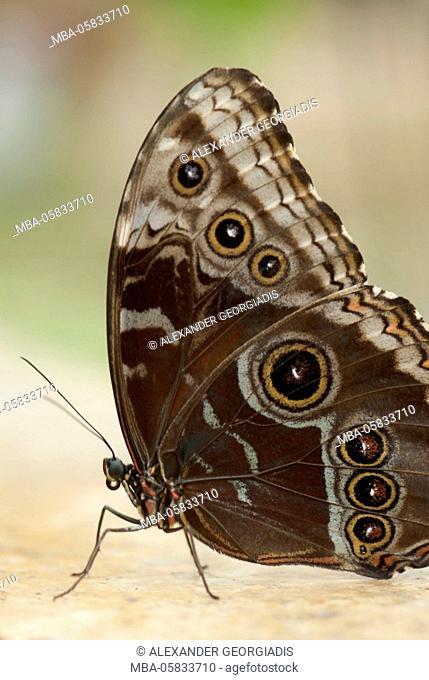 Butterfly, blue Morpho, Morpho peleides, seated on a stone