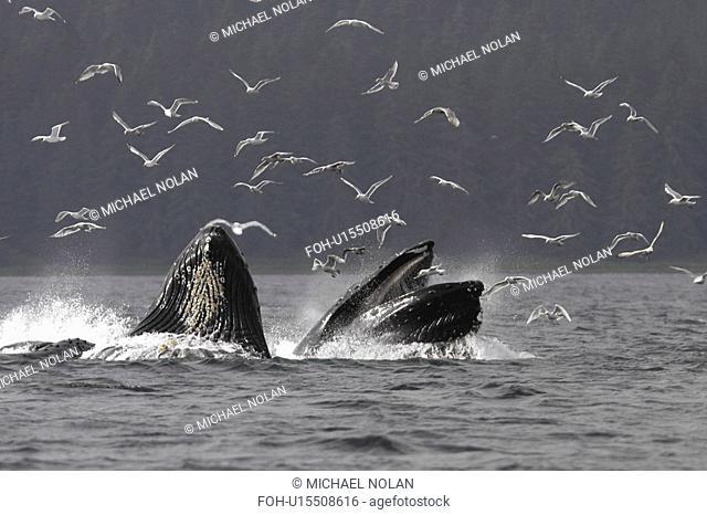 Adult Humpback Whales Megaptera novaeangliae cooperative bubble-net feeding for herring in Iyoukeen Bay, Chichagof Island, Southeast Alaska