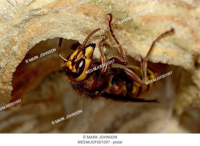 Eating European hornet