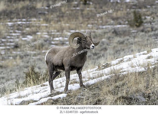 An adult male Bighorn sheep 'Ovis canadensis', standing on top of a rocky ridge against a blue sky in lamar Valley Yellowstone National Park