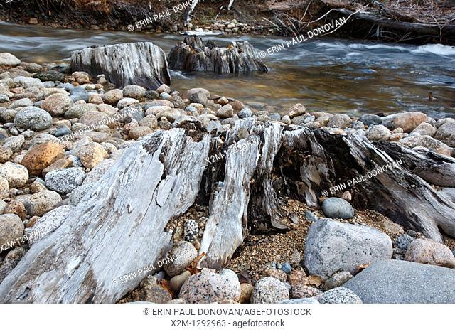 Decaying tree stumps along the Swift River in the White Mountains, New Hampshire USA