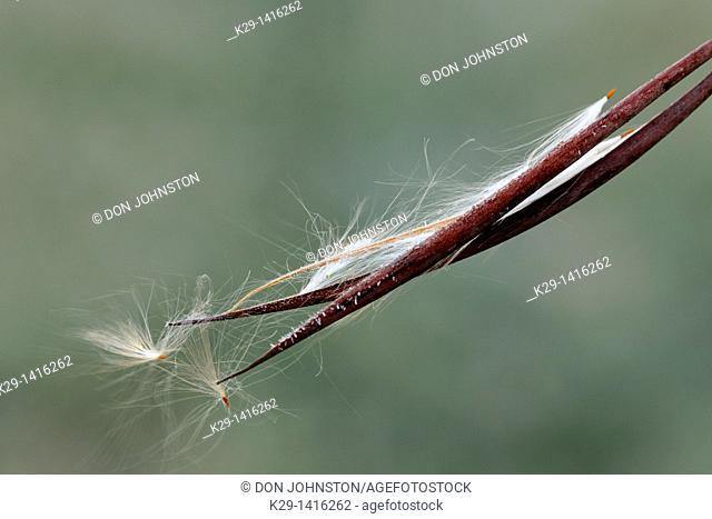 Spreading dogbane Apocynum androsaemifolium Bursting seedpod with frost Greater Sudbury Ontario