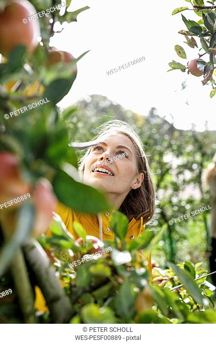 Young woman picking apple from tree in orchard