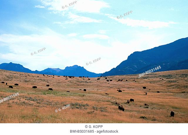 American bison, buffalo (Bison bison), grazing herd, USA, Wyoming, Yellowstone NP