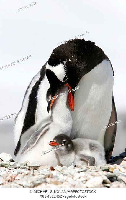 Gentoo penguin Pygoscelis papua parent feeding downy chick on Pleneau Island, near the Antarctic Peninsula