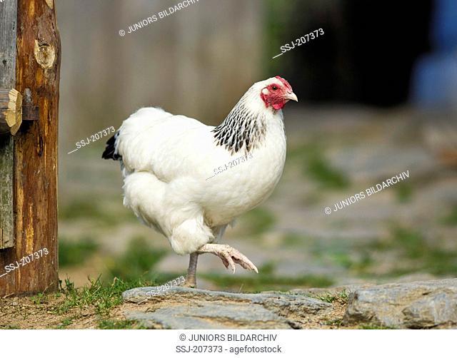 Deutsches Reichshuhn (German Empire Chicken). Hen walking on cobblestones. Germany
