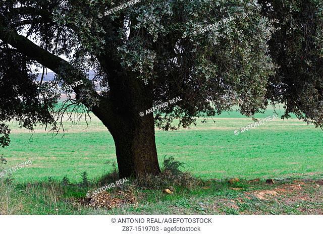 Holm Oak (Quercus ilex), Almansa, Albacete, Spain