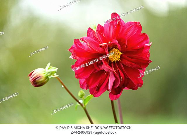 Close-up of a red Dahlia blossom in a garden in summer
