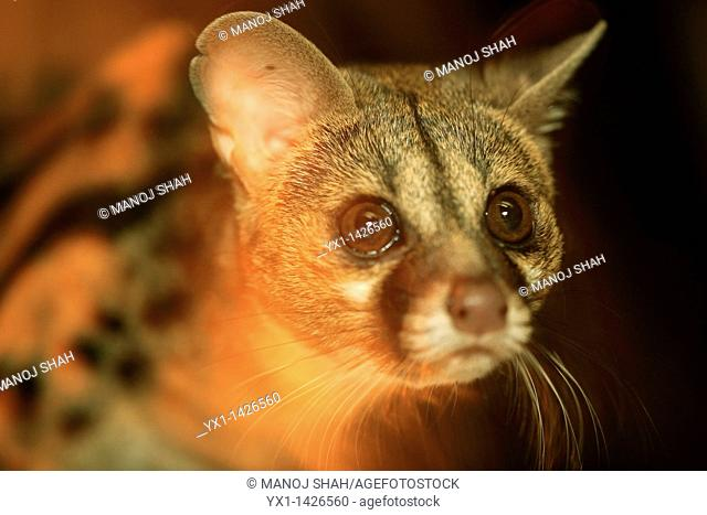 Genet cats come out after dark to find food