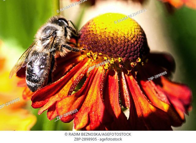 "Honey bee on Helenium """"Flammenrad"""""
