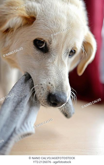 Cute mixed breed puppy playing with stolen sock at home