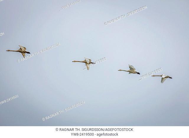 Swans flying, Cygnus buccinator, Iceland