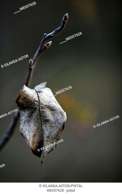 Dry leaf in winter