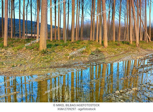 Poplar grove near Ega river. Murieta, Navarre. Spain, Europe