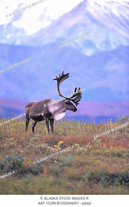 Caribou on Fall Tundra Denali National Park AK Interior