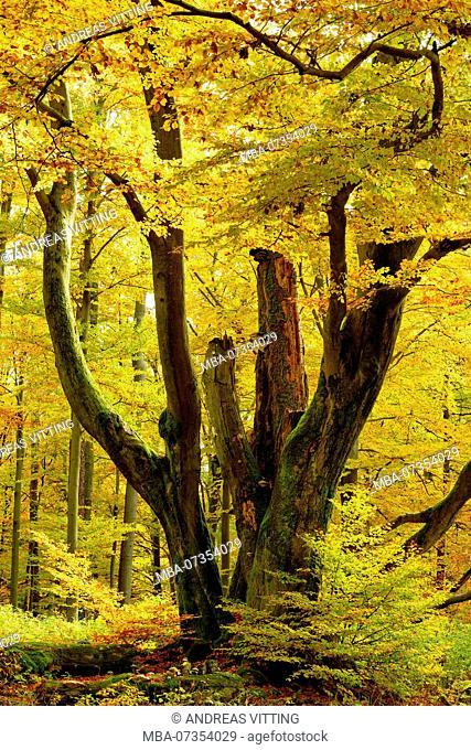 Giant old moss-covered beech tree in the near-natural foliaceous forest in autumn, Spessart nature park, Weibersbrunn, Bavaria, Germany, Europe
