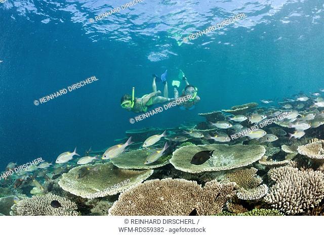 Healty Reef and Skin diver, Ellaidhoo House Reef, North Ari Atoll, Maldives