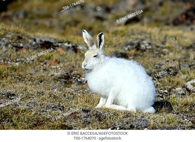 Arctic hare Lepus arcticus Ellemere Island, Nunavut, Canada