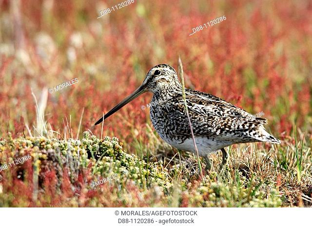 South American Snipe (Gallinago paraguaiae magellanicae), Sealion Island, Falkland Islands, UK