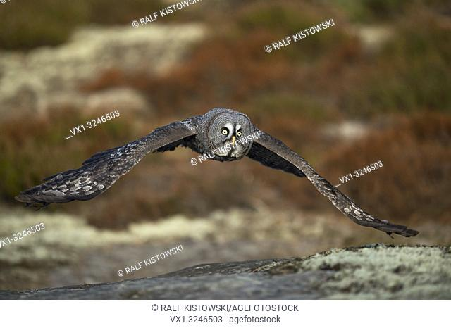 Great Grey Owl / Bartkauz (Strix nebulosa) in hunting flight, close above the ground, in fall, autumnal boreal colors