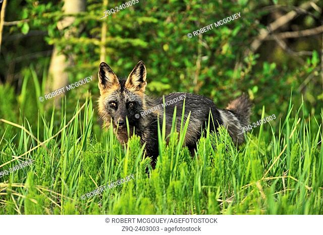 """Front view of a wild cross fox """"""""Vulpes vulpes"""""""", hunting through the tall summer grass for small prey animals"""