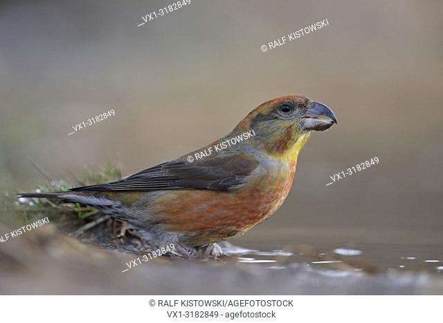 Parrot Crossbill ( Loxia pytyopsittacus ), male, sitting at a natural puddle (wildlife)