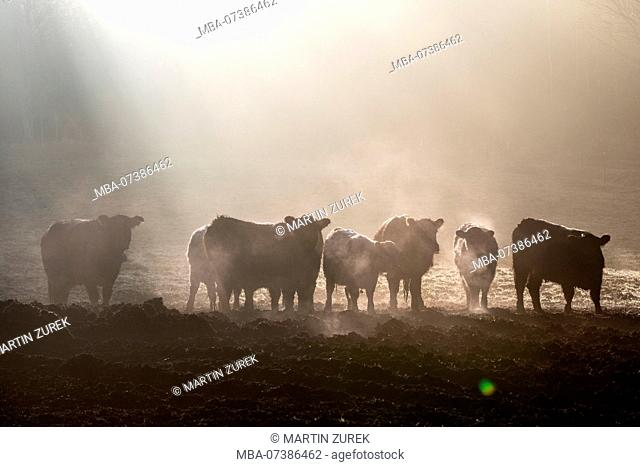 Steaming Galloway cattle, herd in the morning mist in sunshine, Germany, Bavaria, Allgäu