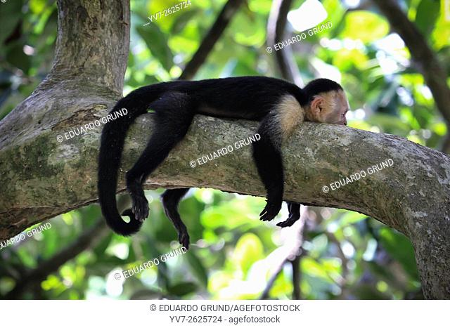 Exemplary of white-faced monkeys, also called as Capuchin (Cebus capucinus), napping, near the beach of Manuel Antonio. Manuel Antonio National Park, Puntarenas