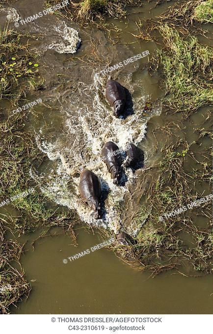 Hippopotamus (Hippopotamus amphibius), breeding herd in a freshwater marsh, aerial view, Okavango Delta, Moremi Game Reserve, Botswana
