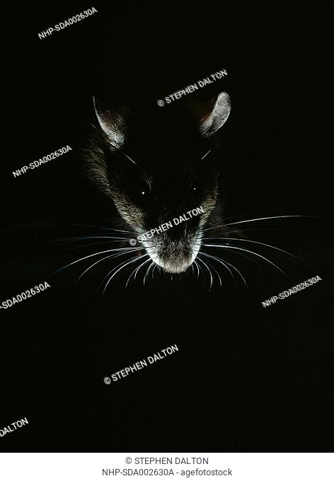 BROWN RAT close detail Rattus norvegicus face, highlighted at night