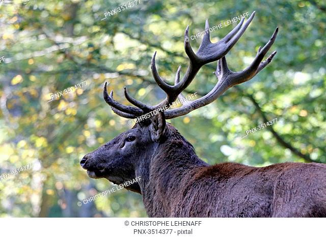 France, Burgundy, Yonne. Area of Saint Fargeau and Boutissaint. Slab season. Stag in a wood. Sight on its wood
