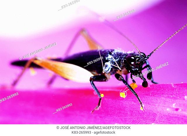 Insect (fam. Gryllidae)