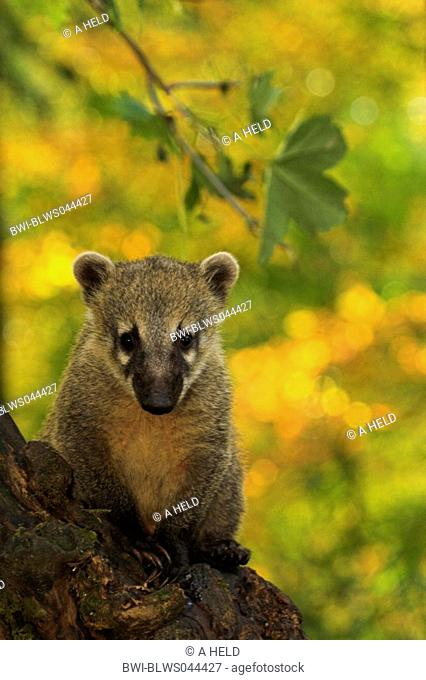 coatimundi, common coati, brown-nosed coati Nasua nasua, portrait
